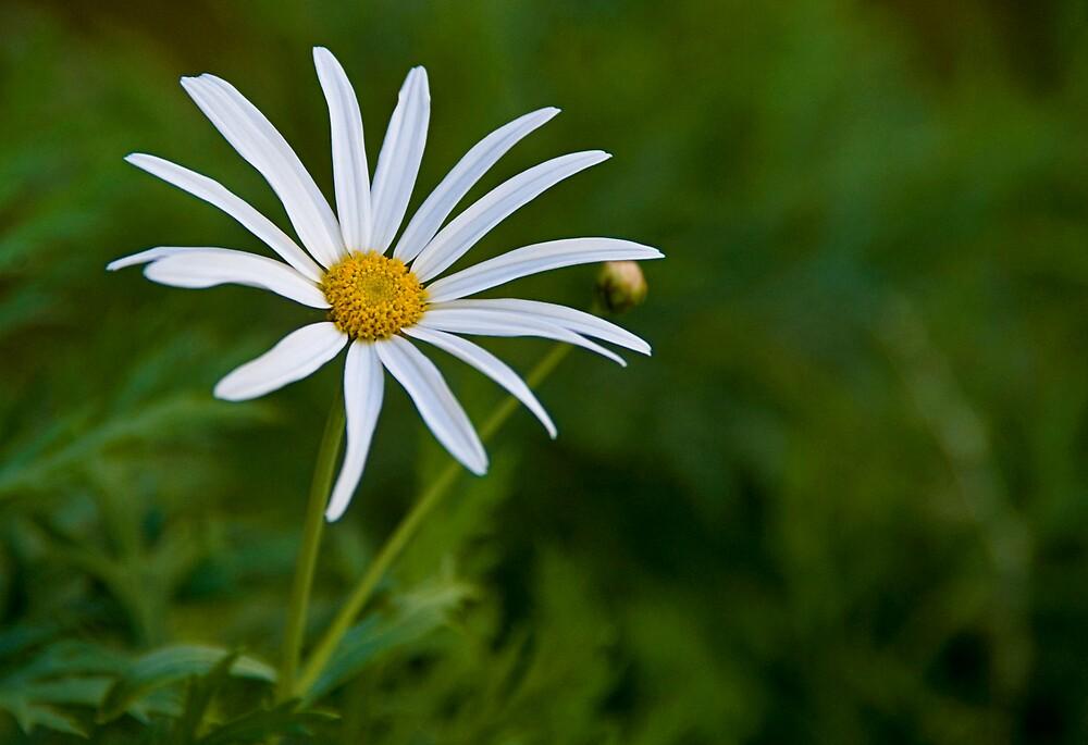White Daisy by Debbie Ryan
