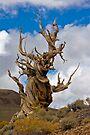 Bristle Cone Pine by photosbyflood