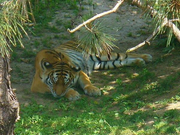 lazy tiger by bridgelizabeth
