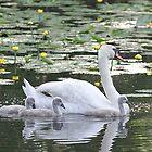 Mute Swan and her cygnets by Linda Crockett