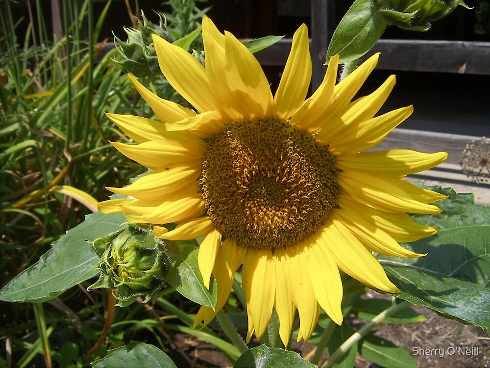 Sunflower Dreams by Sherry O'Neill