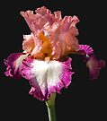 IRIS by photosbyflood
