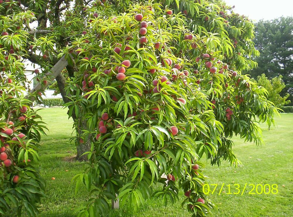 Ahhhh.......wonderful peaches!!! by SharonLynnW