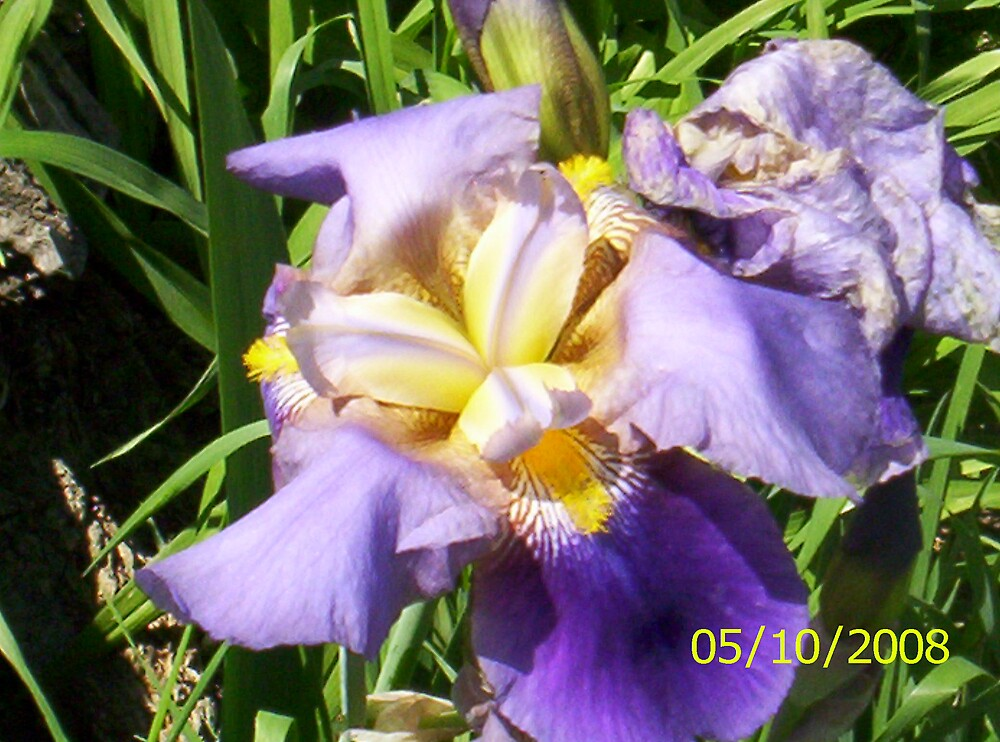 Irises are beautiful in the summer time. by SharonLynnW