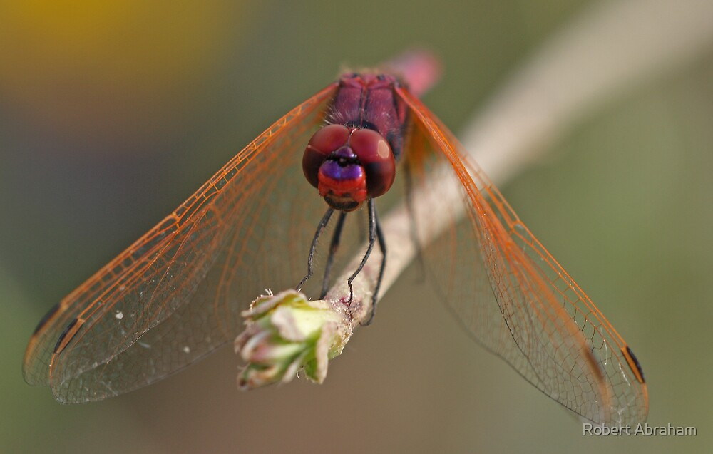 Purple-Blushed Darter by Robert Abraham