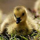 Goslings by Lori Peters