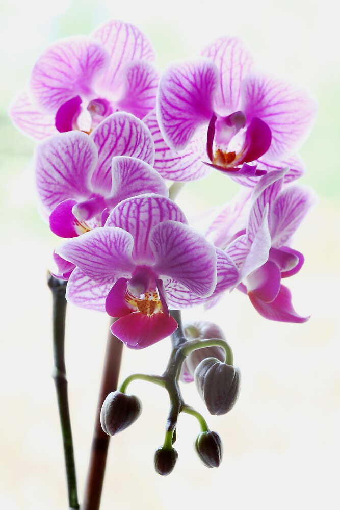 Orchid by kitlew