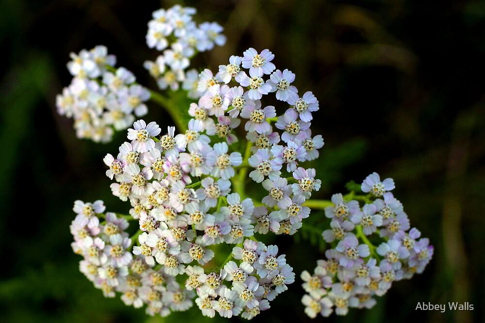 White Yarrow (Achillea Millefolium) Wildflower by Abbey Walls