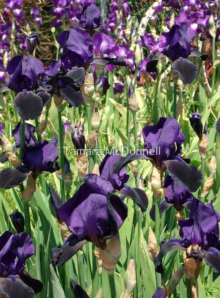 Purple Bearded Iris by Tamara Lindsey