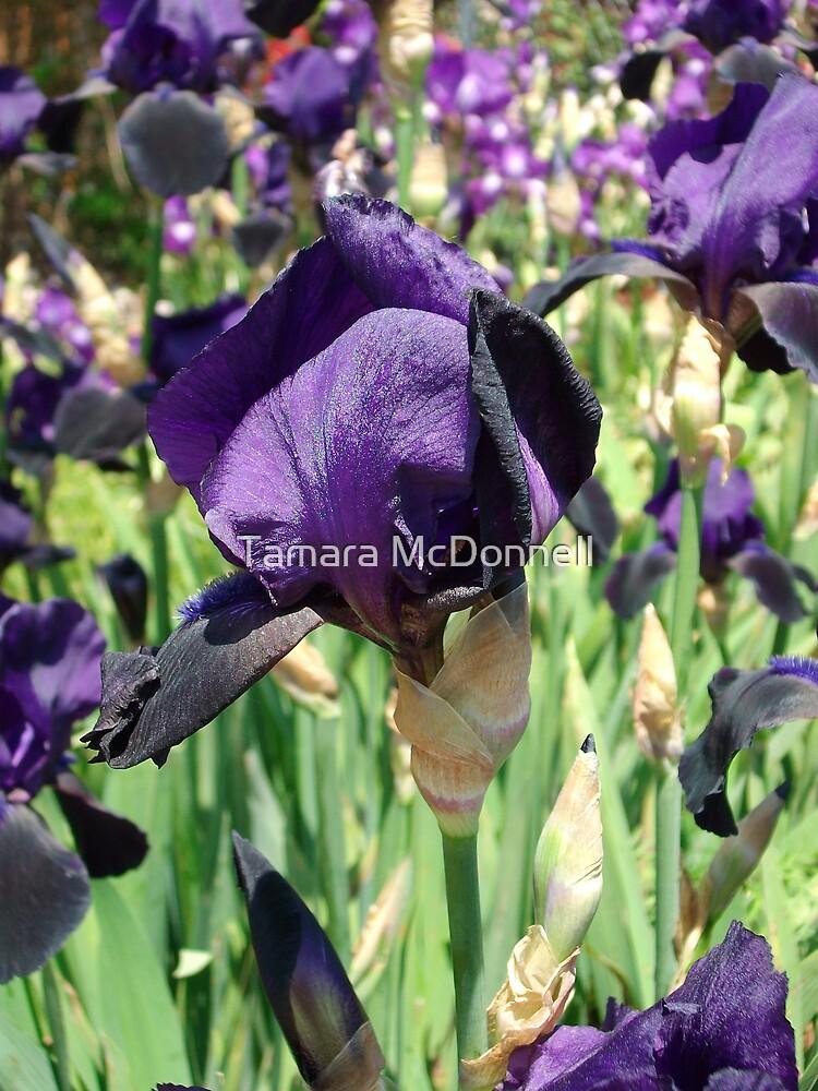 Purple Bearded Iris #3 by Tamara Lindsey