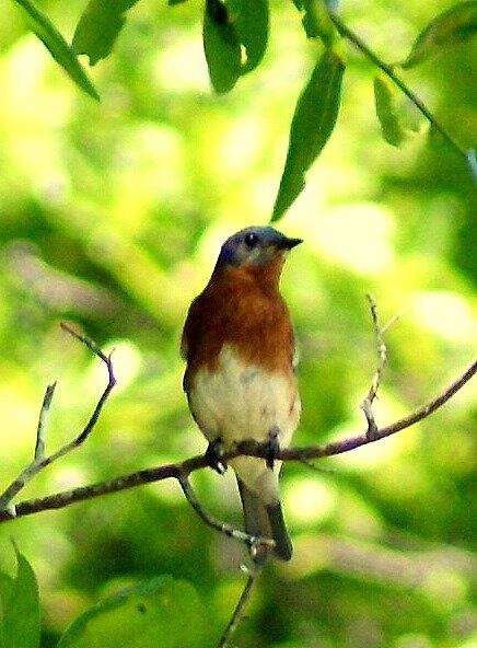 Bluebird  by veteran