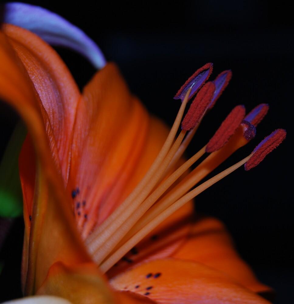 orange lilium by kmabbott