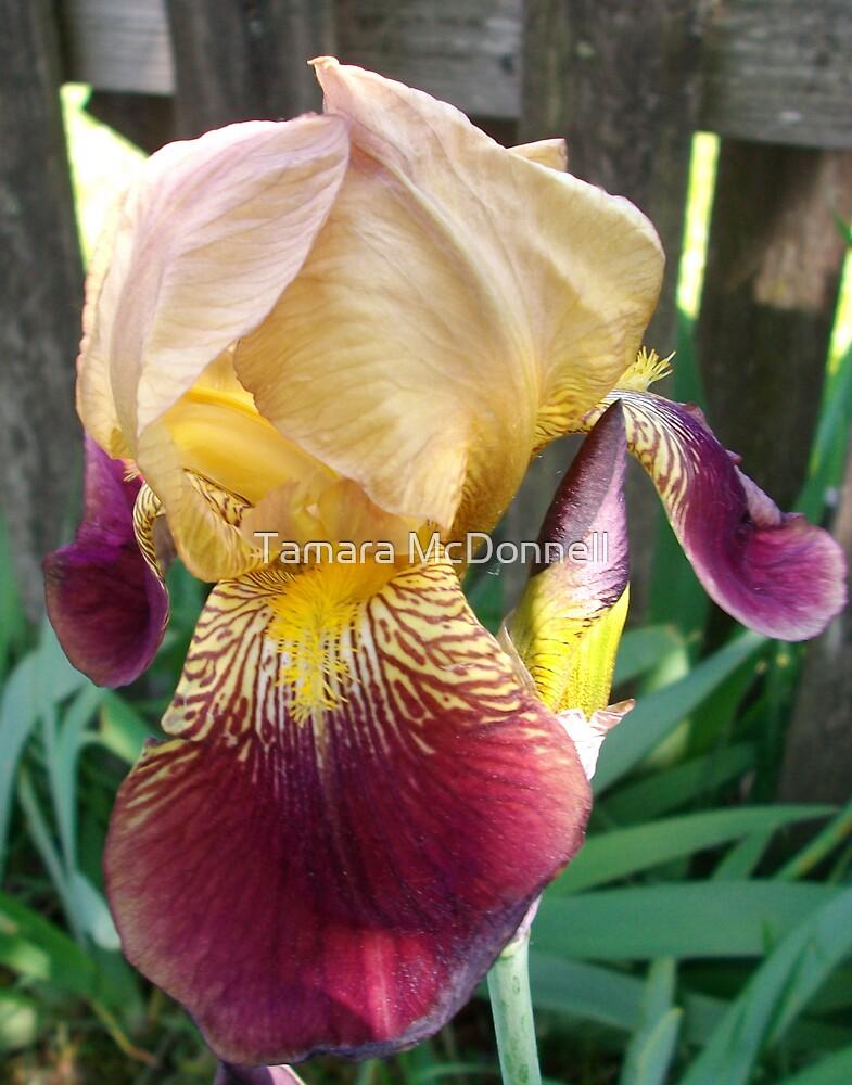Multi Color Bearded Iris by Tamara Lindsey