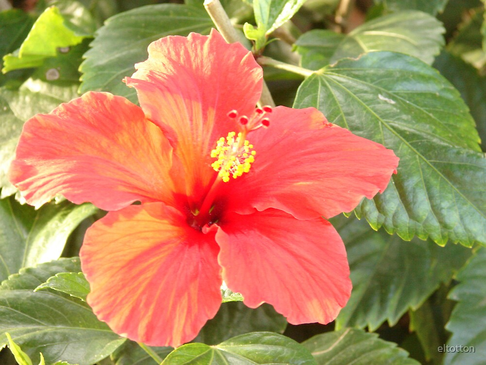 Red Hibiscus by eltotton