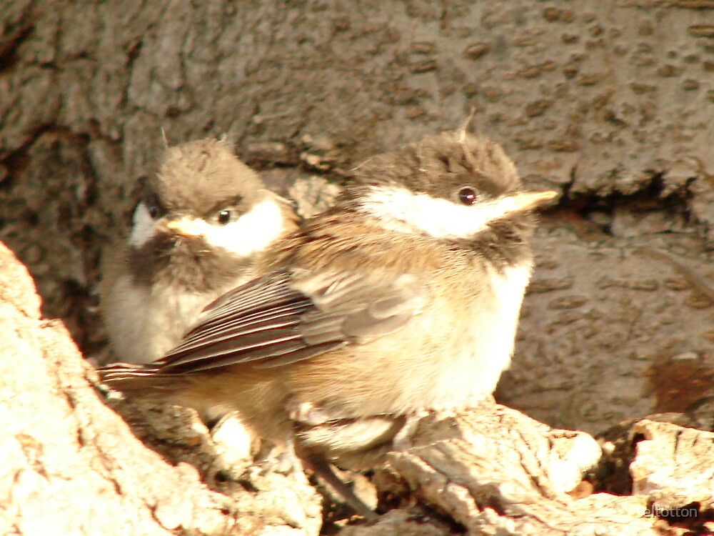 Baby Finches by eltotton