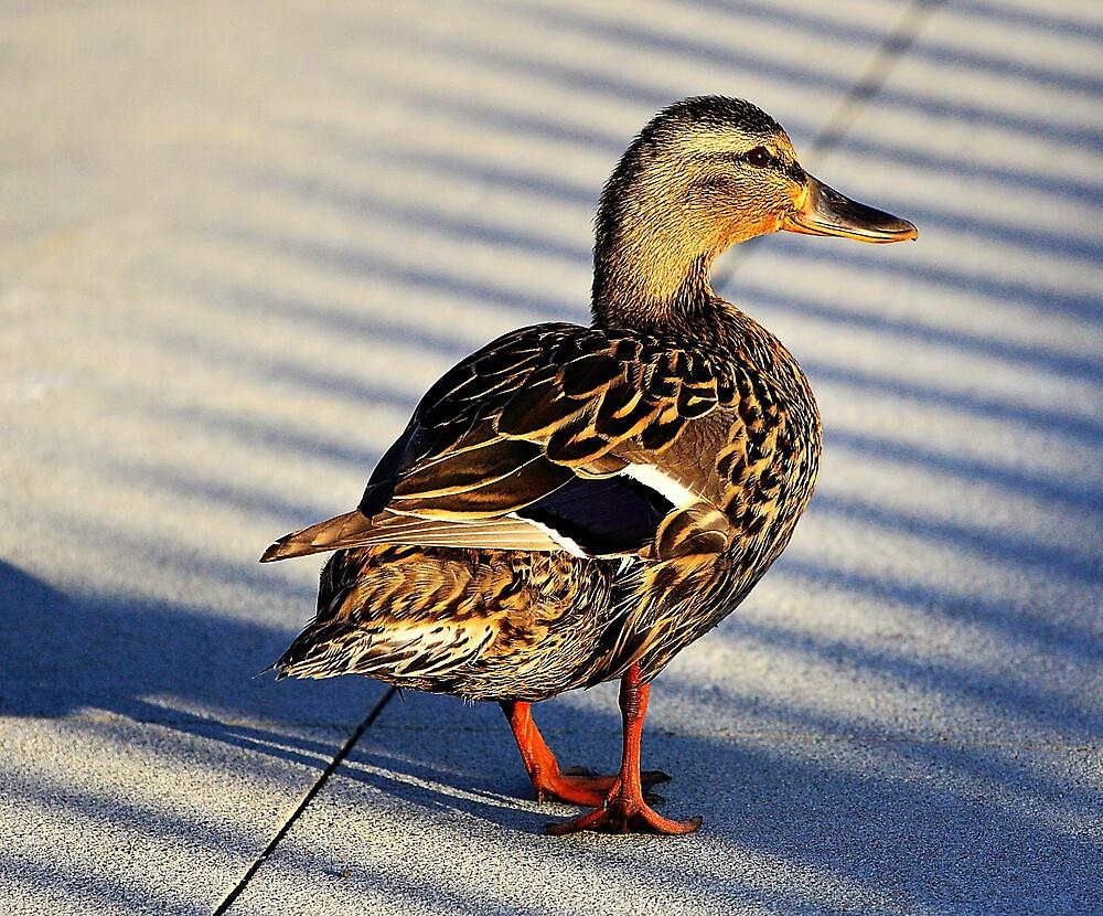 Duck by pmarella