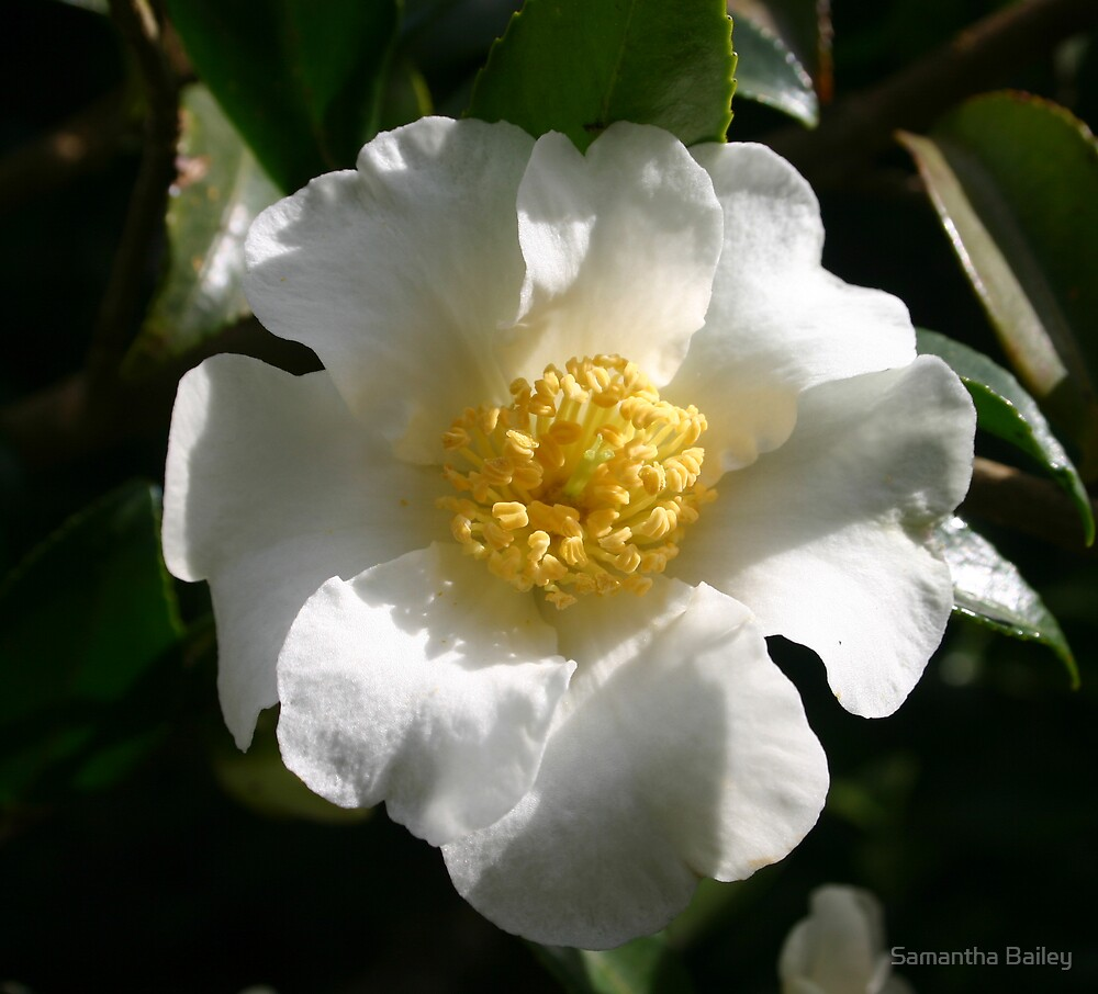 White Camellia by Samantha Bailey