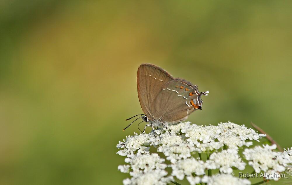 Purple Hairstreak Butterfly by Robert Abraham