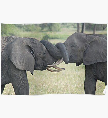 Trunk Wrestling, Tarangire National Park, Tanzania Poster