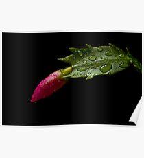 Zygocactus bud Poster