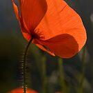 Poppies 2 by David Clarke