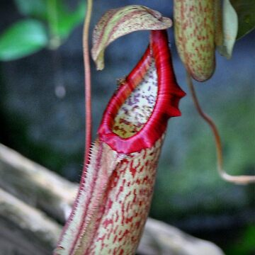 Nepenthes by venny