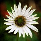 Cone Flower by Colleen Drew