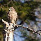 Broad-winged Hawk. by DigitallyStill