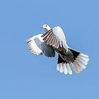 Collared Dove by peaky40