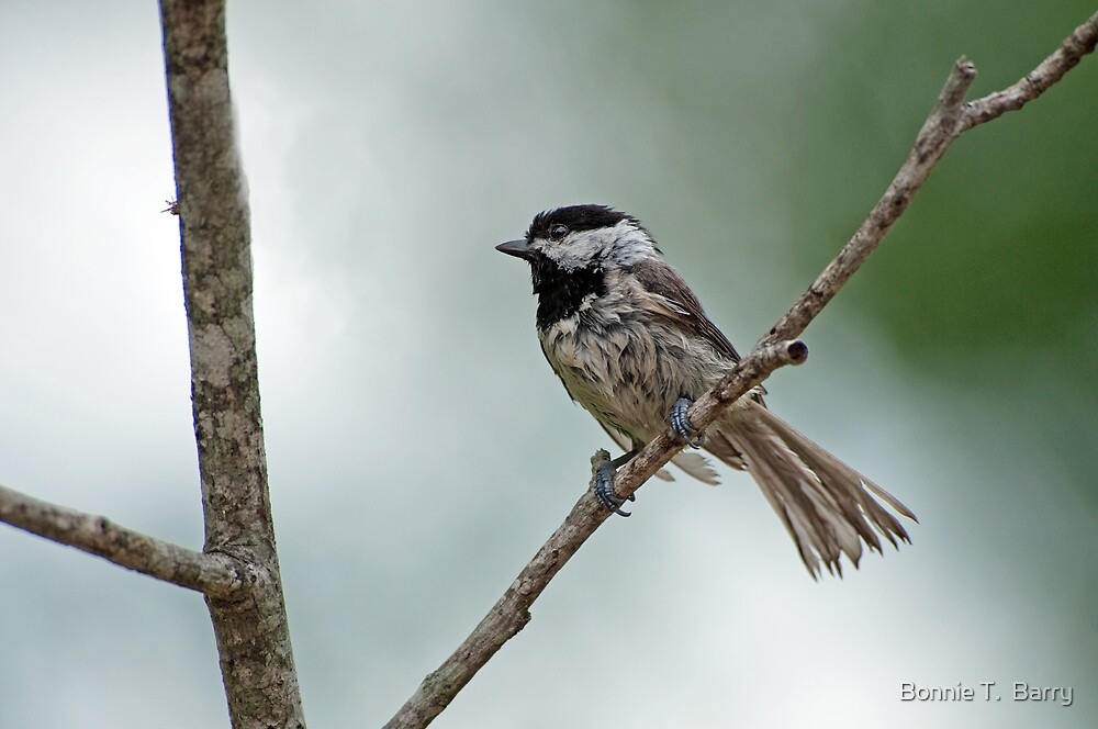 Drip Dry Chickadee by Bonnie T.  Barry