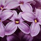 Macro Lilacs In Stu 1:1 macro by Douglas Gaston IV