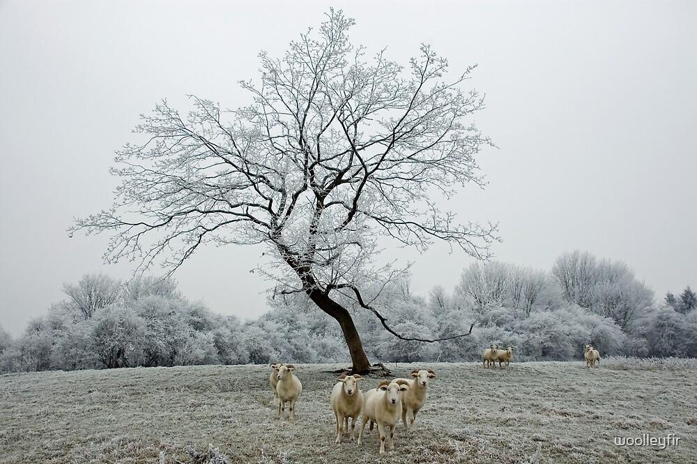 Sheep in hoare frost by woolleyfir