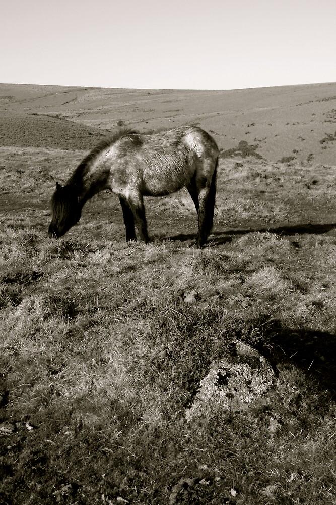 Dartmoor Pony by Amanda Gazidis