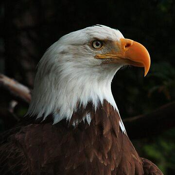 #1367 - Bald Eagle by MyInnereyeMike