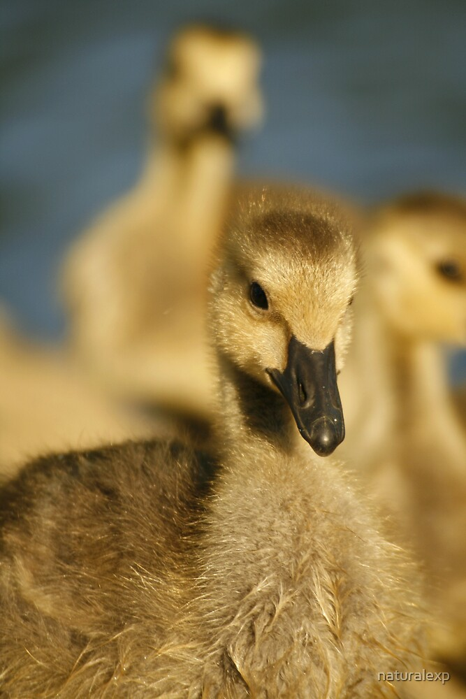 Baby Goose 2 by naturalexp