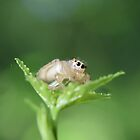Jumping Spider  by Tonia Delozier