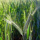 Barley crop by iOpeners