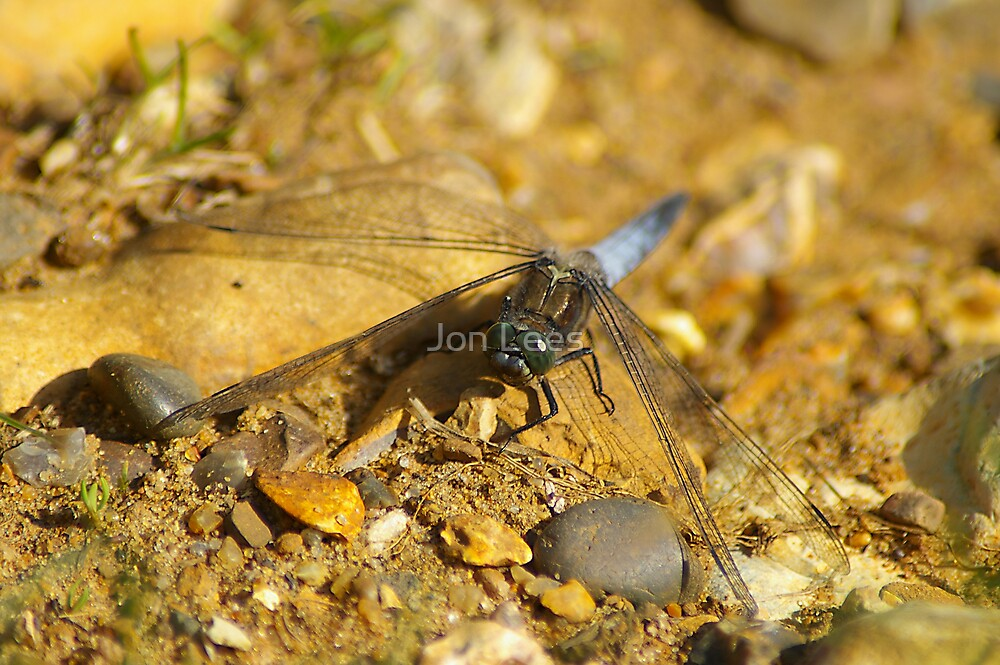 Black tailed skimmer dragonfly by Jon Lees