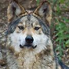 Mexican Gray Wolf by Linda Gregory