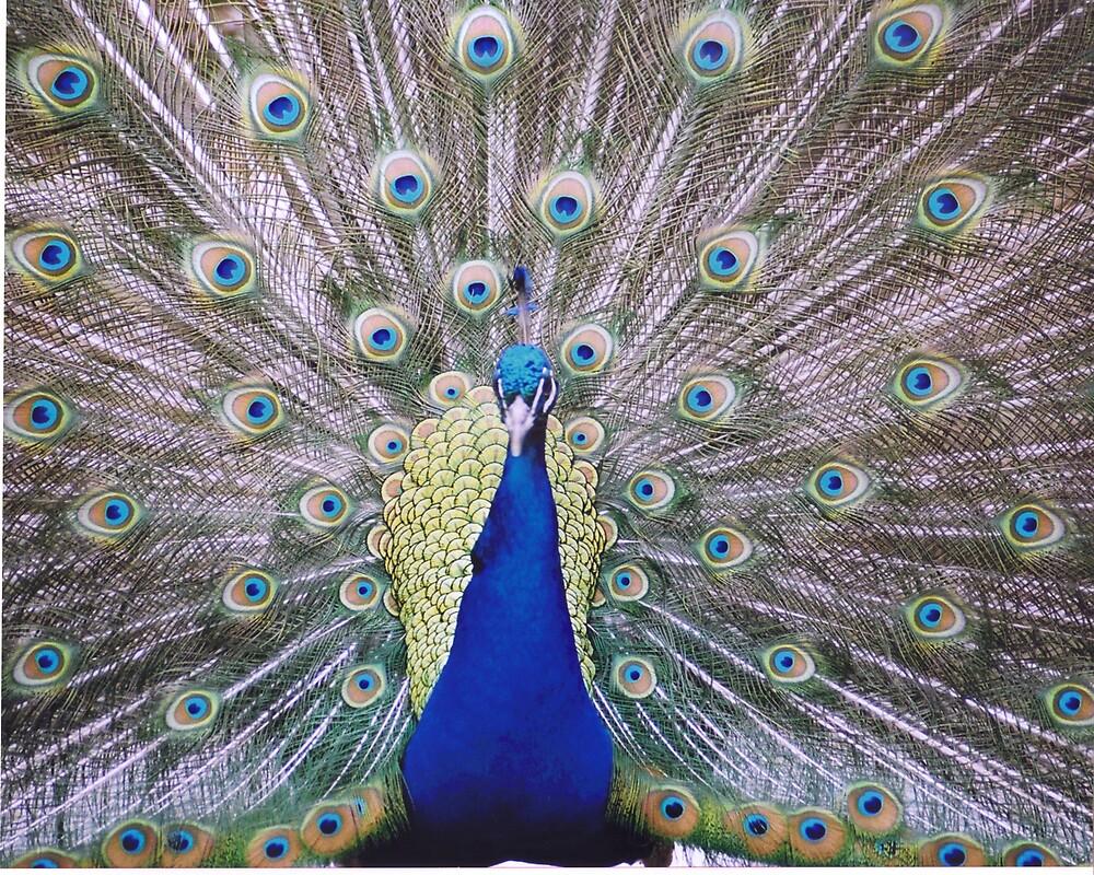 Peacock by Paula Thompson