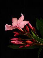 Pink Oleander by Barbara Morrison