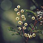 Sunshine Wattle by Cloudlingpics