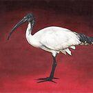 Australian White Ibis by ria gilham