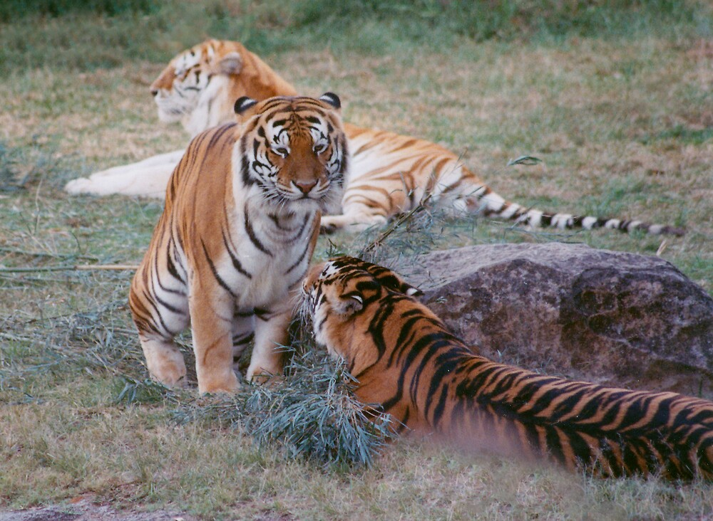 Bengal Tigers by smallan