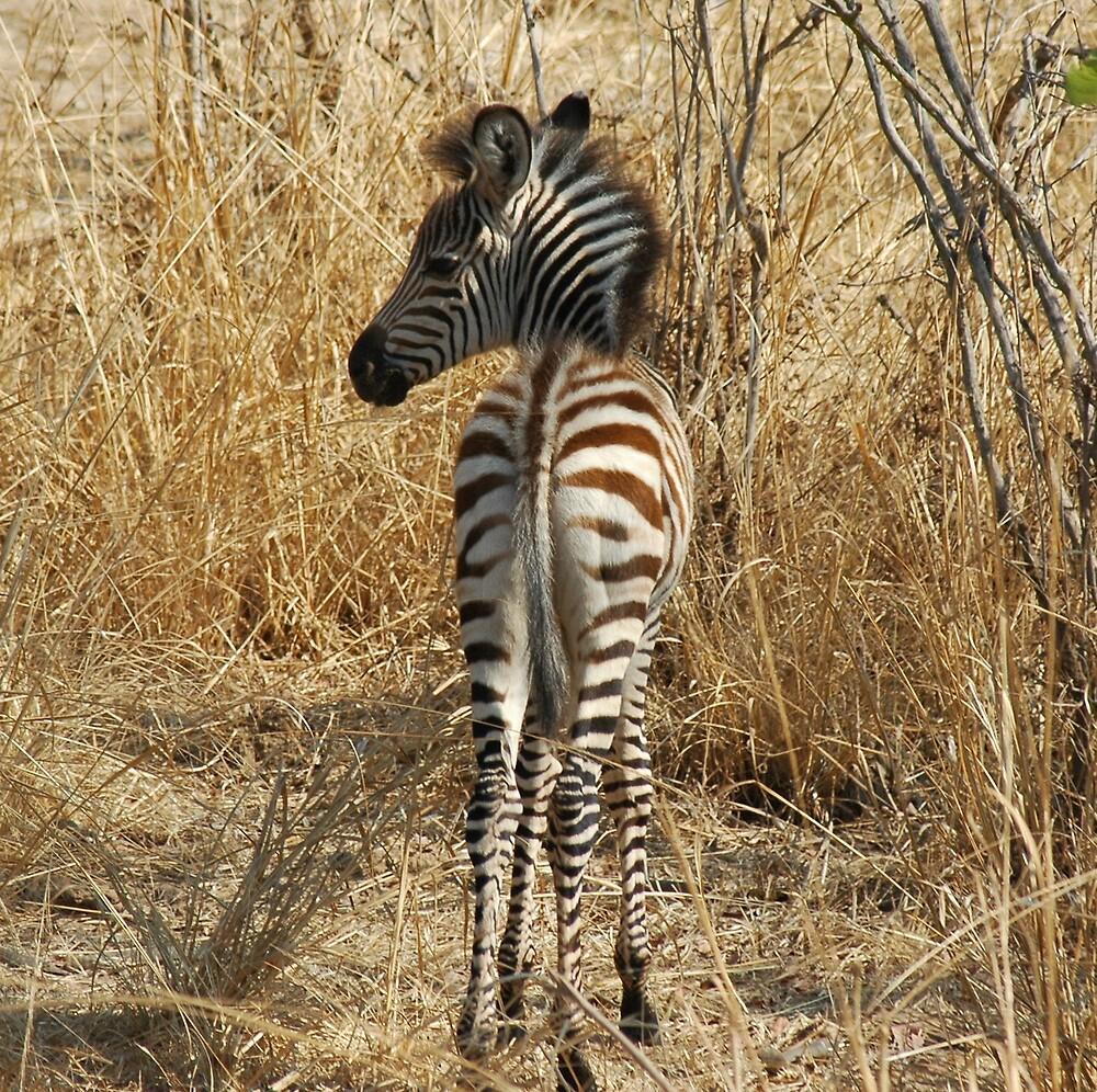 Baby Zebra by DUNCAN DAVIE