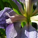 Lavender Iris by Rebekah  McLeod