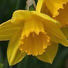 Daffodil Macro by Stephen Thomas