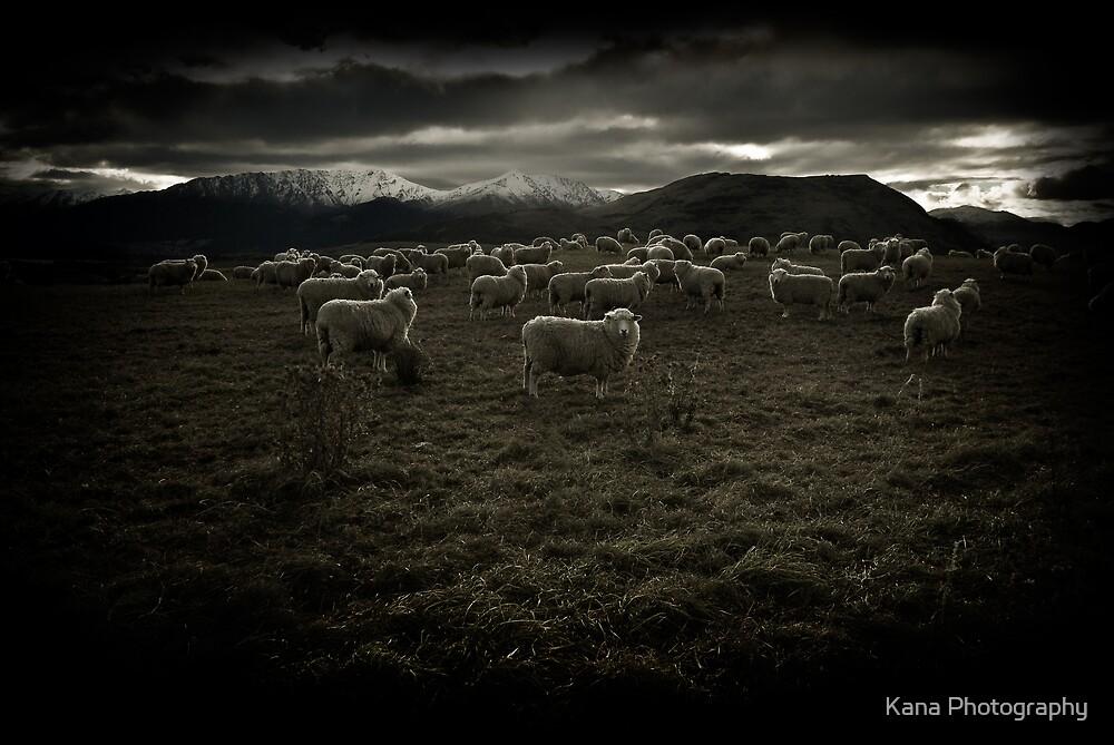 Snow Sheep by Kana Photography