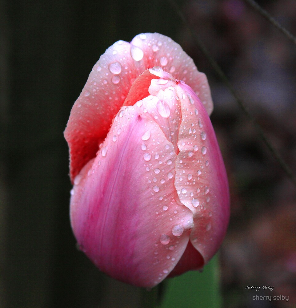 morning rain of a rose by sherry selby