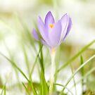 Crocus in Spring by Andy Freer